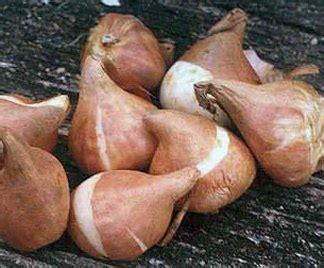 Come Piantare I Bulbi Di Tulipano by Come Piantare I Bulbi Di Tulipano