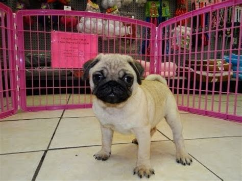 pugs for sale in charleston sc puppies 5 weeks puppies