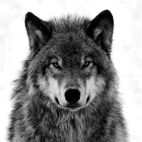 tubes png de lobos buscar con google lobos pinterest