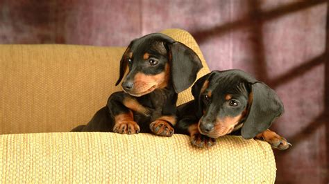 doxon puppies dachshund puppies wallpaper 6693