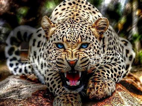 imagenes de jaguar blanco animals images leopard hd wallpaper and background photos