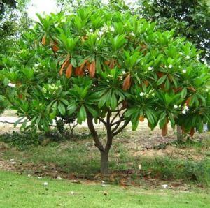 Jual Bibit Sengon Di Cirebon lokasi jual bibit pohon tanaman halaman 28