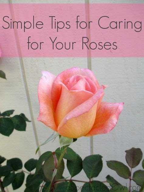 How To Care For Patio Roses by 25 Best Ideas About Caring For Roses On How