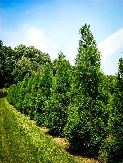 yoshino japanese cryptomeria  tree center