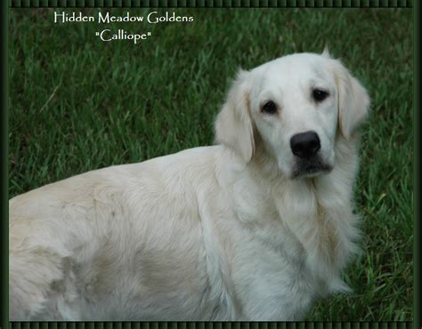 golden meadow retrievers meadow white golden retrievers quot calliope quot