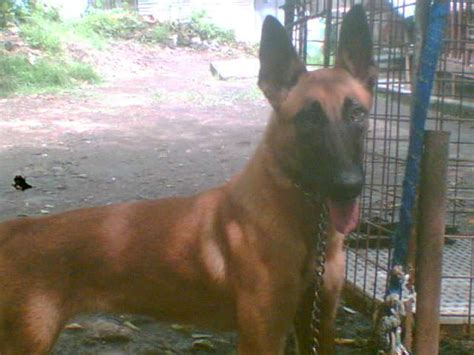 puppies athens ga belgian malinois puppies for sale athens image breeds picture