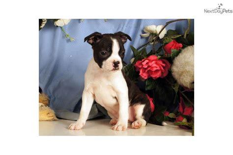 bojack puppies breann boston terrier puppy for sale near williamsport pennsylvania c2e00c25 f151
