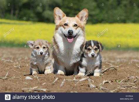 pembroke corgi colors pembroke corgi and two puppies different