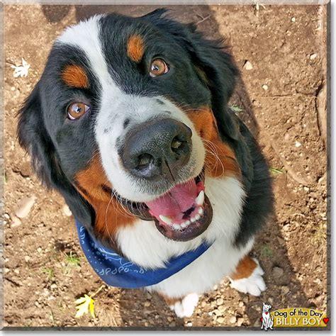 bernese mountain puppies michigan michigan bernese mountain breeds picture