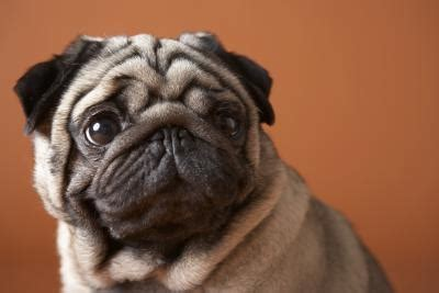 pugs glands signs symptoms of dogs glands needing expressed care daily puppy