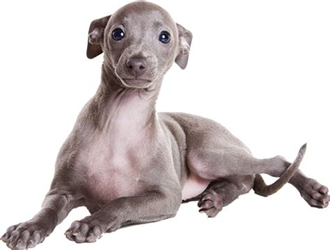 Do Greyhound Dogs Shed by 100 Do Italian Greyhounds Shed 25 Dogs That Don U0027t Shed Non Shedding Dogs Small Large