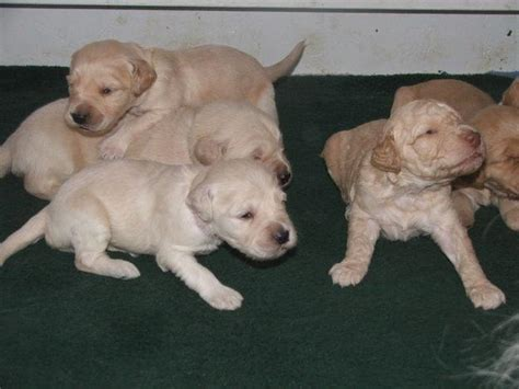 labradoodle puppies for sale ohio f2 labradoodle puppies for sale near columbus oh best price pynprice