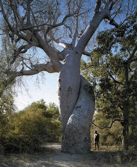 elm tree symbolism 100 elm tree symbolism the most dangerous tree in