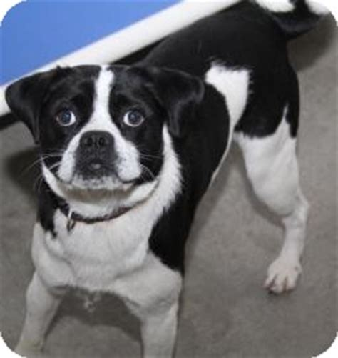 pug collie mix doogie adopted a21405080 philadelphia pa pug border collie mix