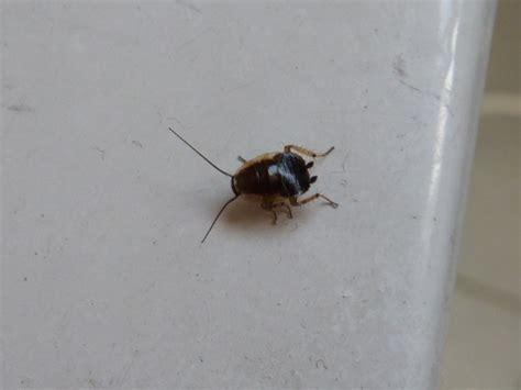 cafard cuisine quel insecte ressemble au cafard