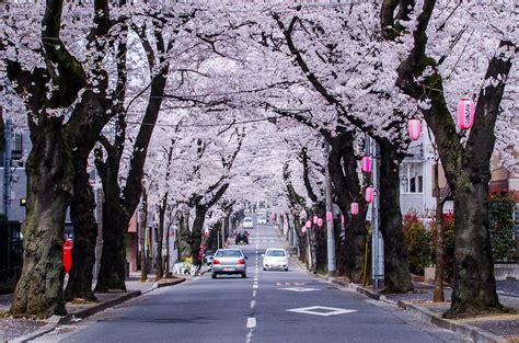 cherry blossom rubber st dori a cherry blossom lined in chiba