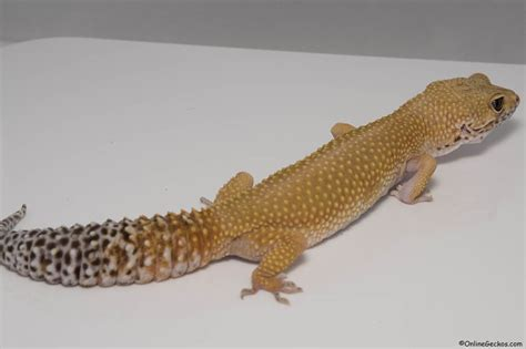 leopard gecko heat l leopard gecko for sale