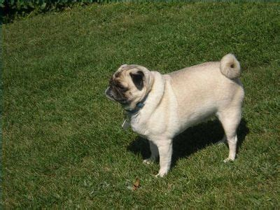 pug skin conditions 17 best images about join the pugs articles on a pug skin rash and pets