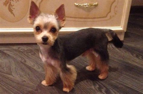 short hair yorkie dogs yorkie haircuts for males and females 60 pictures