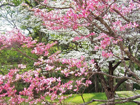 top 28 deciduous flowering trees ceanothus spring