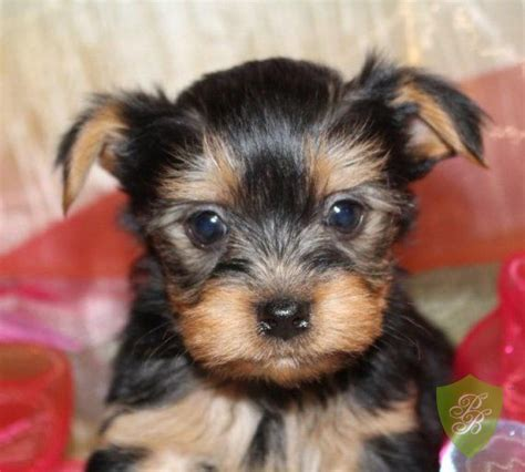 yorkie puppies washington 25 best yorkie breeders ideas on teacup yorkie yorkie and yorkie