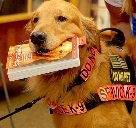 golden retriever service dogs 17 best images about golden retrierver on service dogs pets and puppys