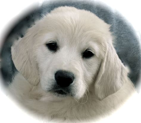 european golden retrievers for sale golden business cake ideas and designs