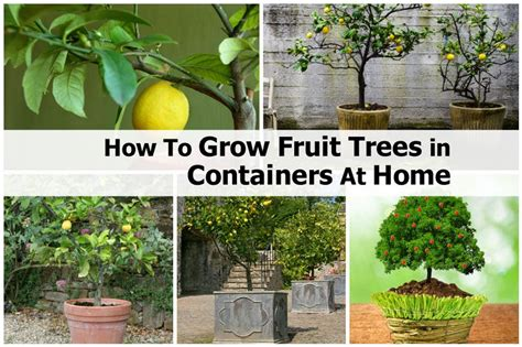 how to grow a fruit tree how to grow fruit trees in containers at home