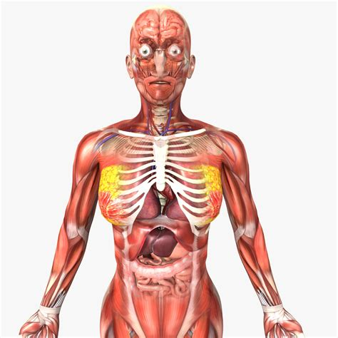Human Anatomy human and anatomy 3d model