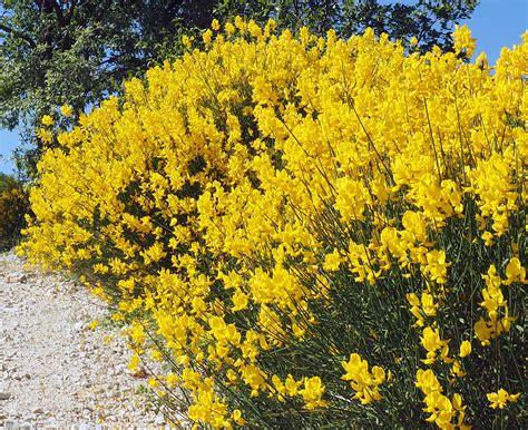 fiore di ginestra ginestra ginestra odorosa ambiente e biodiversit 224