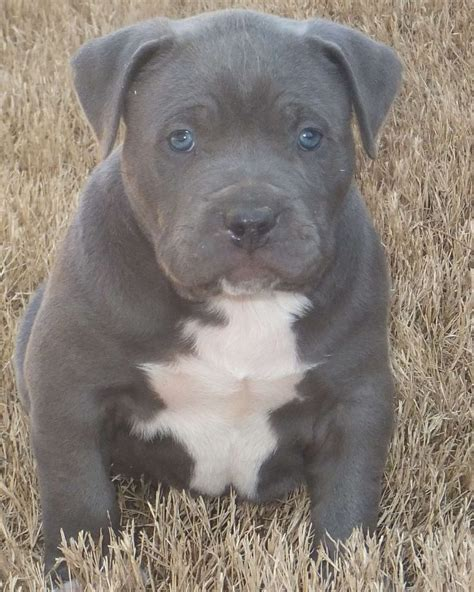 pitbull puppies with blue 309 best images about blue and white pits on american pit blue pits and
