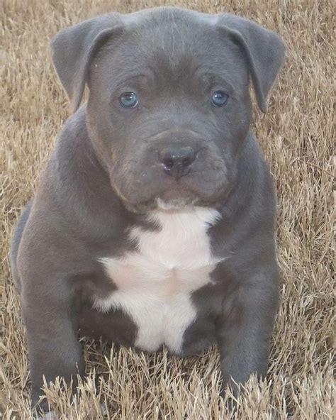 pitbull puppies blue best 25 blue pitbull puppies ideas on blue pitbull blue nose pitbull