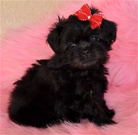 peekapoo puppies for sale in nc peekapoo puppies for sale nc