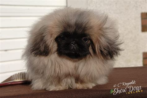 pekingese puppy pekingese puppy for sale dungannon county tyrone pets4homes