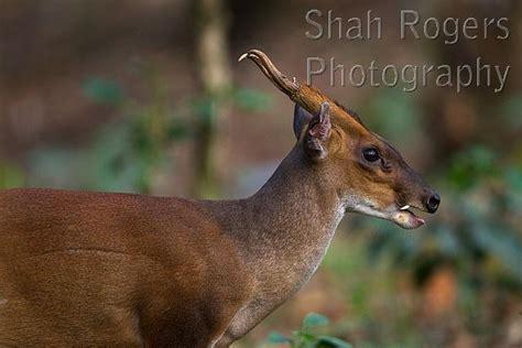 southern red muntjac  barking deer muntiacus muntjak anamalai tiger reserve western ghats