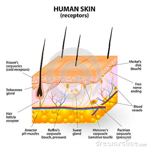 human skin layer vector cross section stock vector 520713712 istock human skin layer vector cross section stock photography image 34806992