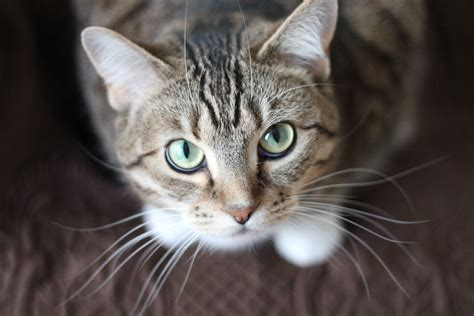cat picturs free stock photo of adorable animal cat