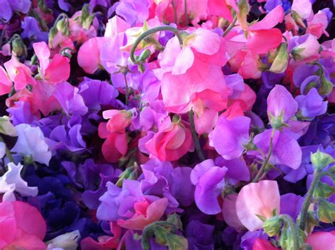 Sweet Blooms by 1000 Images About Sweet Peas On