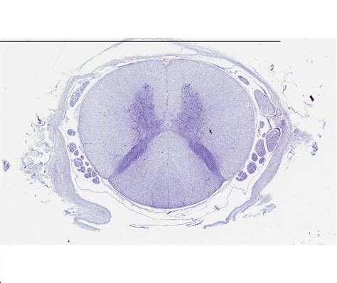 Spinal Cord Cross Section Slide by Histology Laboratory Manual
