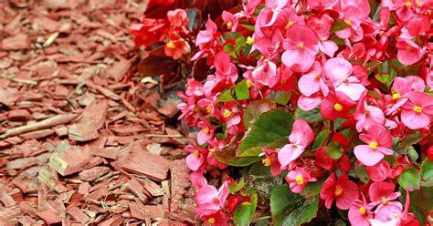 grow wax begonias   fashioned annual