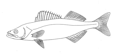 Walleye Coloring Page walleye pike fish coloring pages
