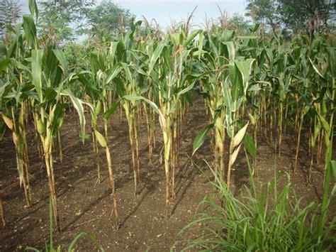 cara menanam jagung yang benar sukacai