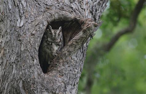 file eastern screech owl megascops asio 16737636725