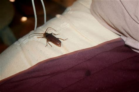 How Big Can A Bed Bug Get by The 214 Ko Box Bug Whoa