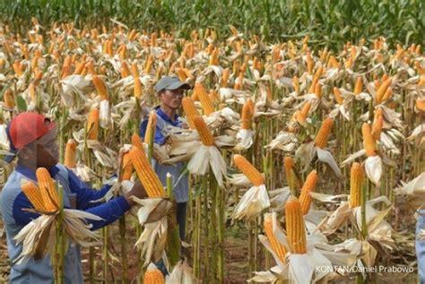 Pakan Ternak Impor Jagung kemtan resmi tutup impor jagung