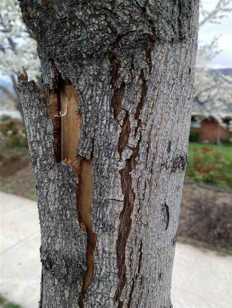 diagnosis what is wrong with my trees the bark on one side is cracking splitting and