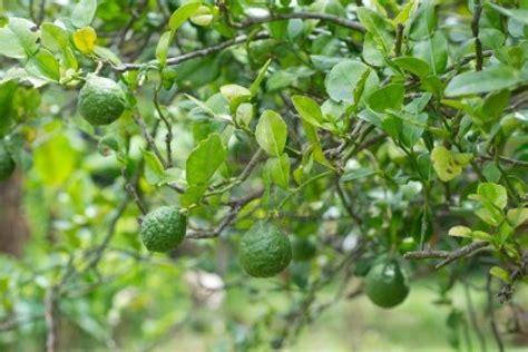 Bibit Tanaman Jeruk Purut tanaman jeruk purut samudrabibit