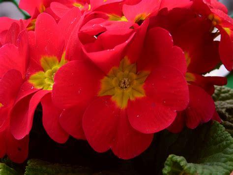 primula rossa fiore les photos de christiane la primula rossa