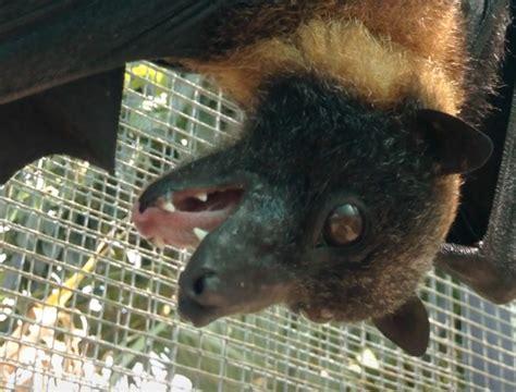 fruit bat pet fruit bat pet california is strawberry a fruit