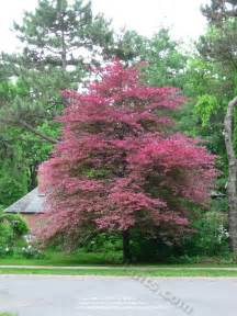 tri colored beech favorite trees pinterest